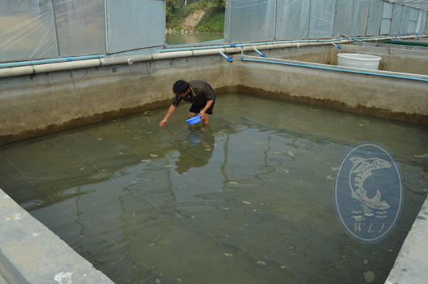 台湾泥鳅春本下池孵化